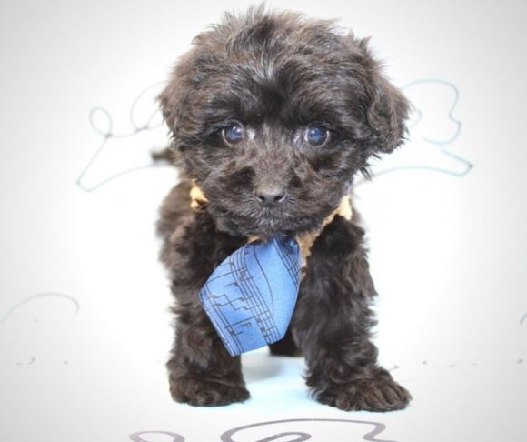 Fido - Toy French Poodle Puppy for sale.1