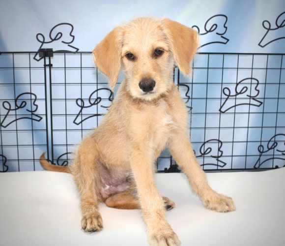 Finch - Goldendoodle puppy in Las Vegas.0