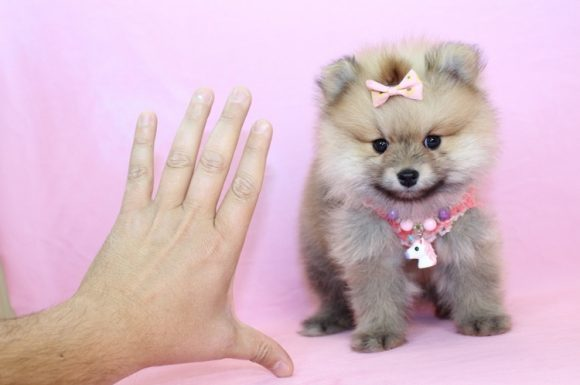 First Lady - Teacup Pomeranian Puppy9