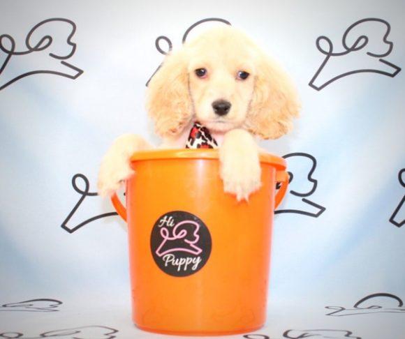 Fletcher - Coker Spaniel puppy in Las Vegas.1