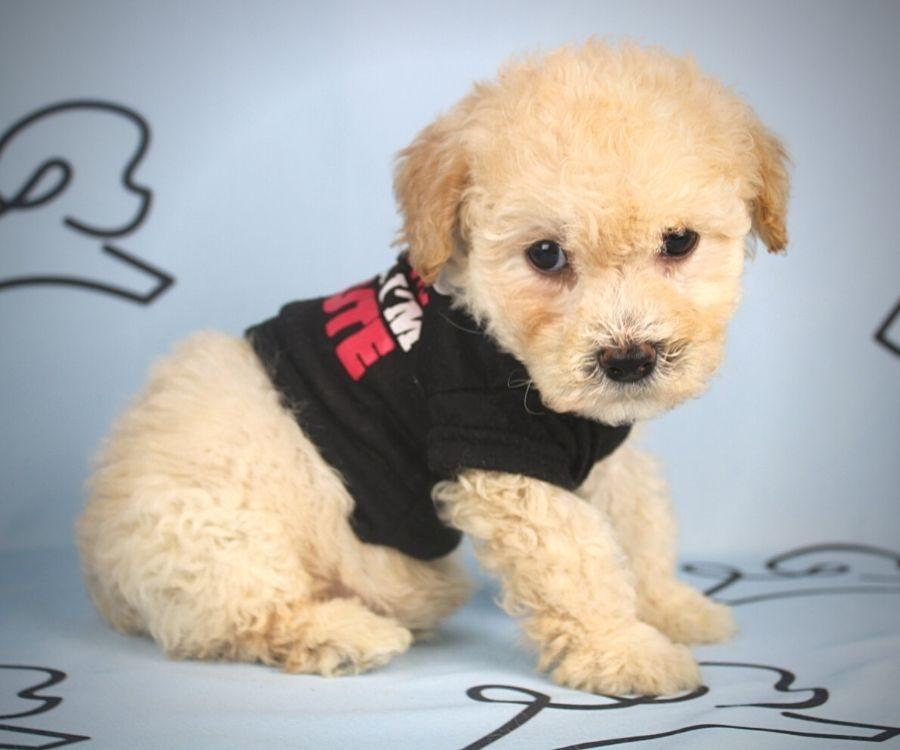 Flit - toy maltipoo puppy in Las Vegas:Los Angeles.0