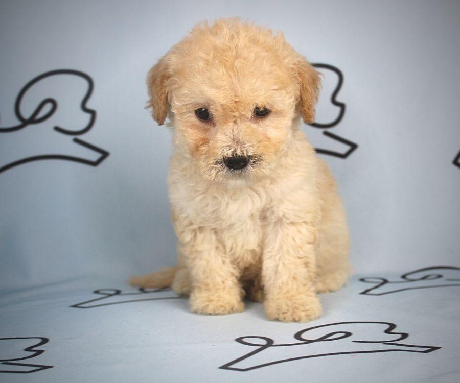 Flit - toy maltipoo puppy in Las Vegas:Los Angeles.1