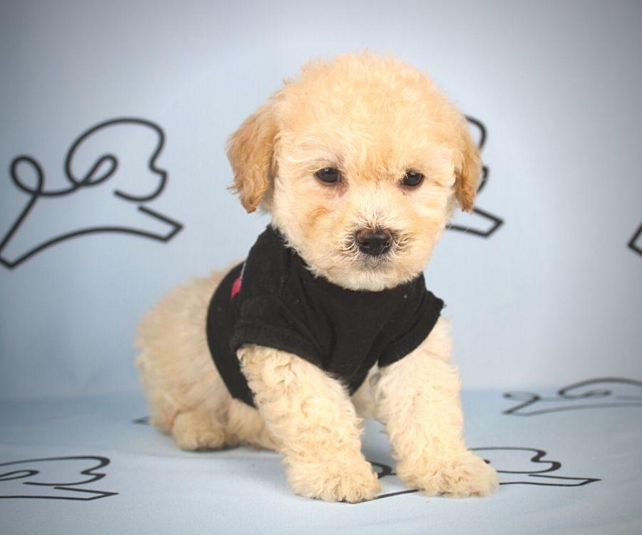 Flit - toy maltipoo puppy in Las Vegas:Los Angeles.2