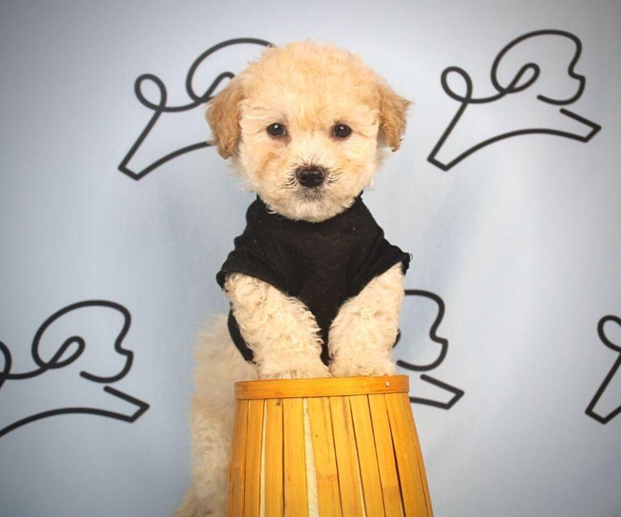 Flit - toy maltipoo puppy in Las Vegas:Los Angeles.4