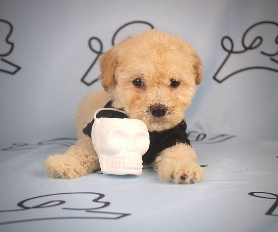 Flit - toy maltipoo puppy in Las Vegas:Los Angeles.5