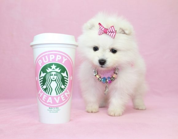 Forever - Teacup Pomeranian Puppy0