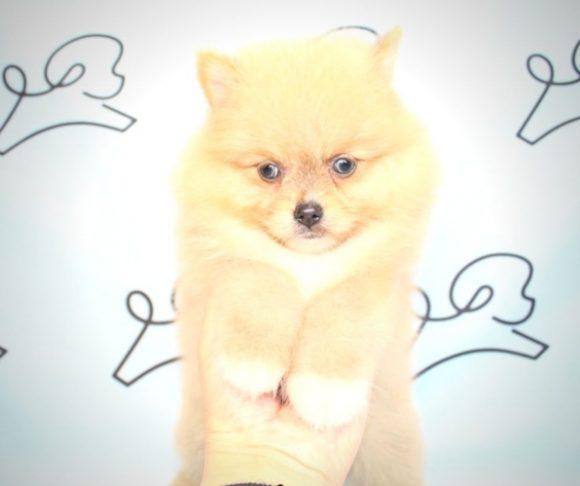 Fox - Pomeranian Dog in San Diego.4