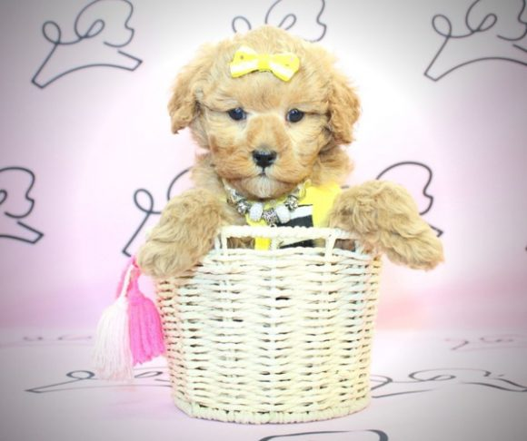 Foxy - Toy Poodle Puppy for sale by breeder.0
