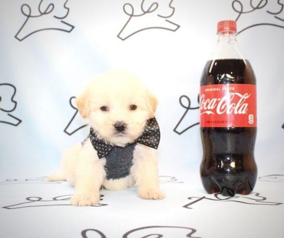 Frank Sinatra - Teacup Maltipoo Puppy For Sale By Breeder.0
