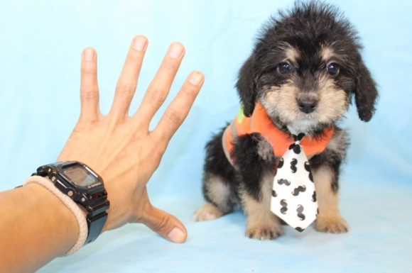 Friday The 13th - Toy Yorkipoo Puppy0