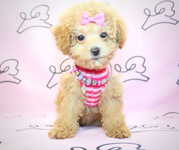 Ginger - Teacup Poodle Puppy near San Diego.1