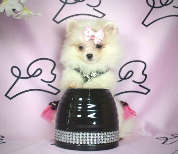 Giselle - toy pomeranian puppy in Las Vegas:Los Angeles.0
