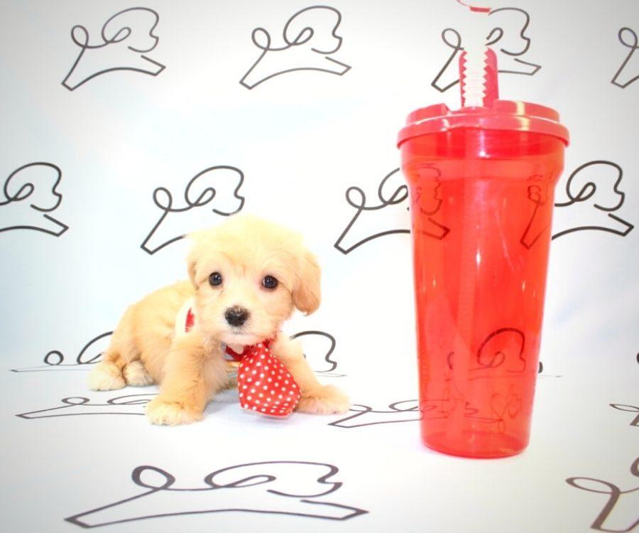 Gizmo - toy maltipoo puppy in Las Vegas:Los Angeles.0