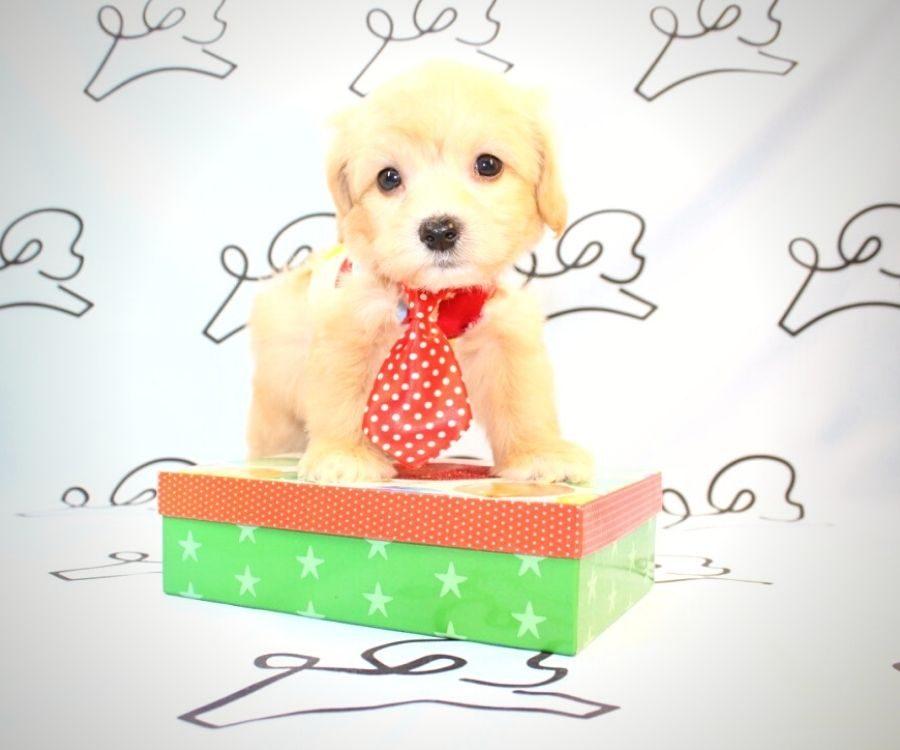 Gizmo - toy maltipoo puppy in Las Vegas:Los Angeles.1
