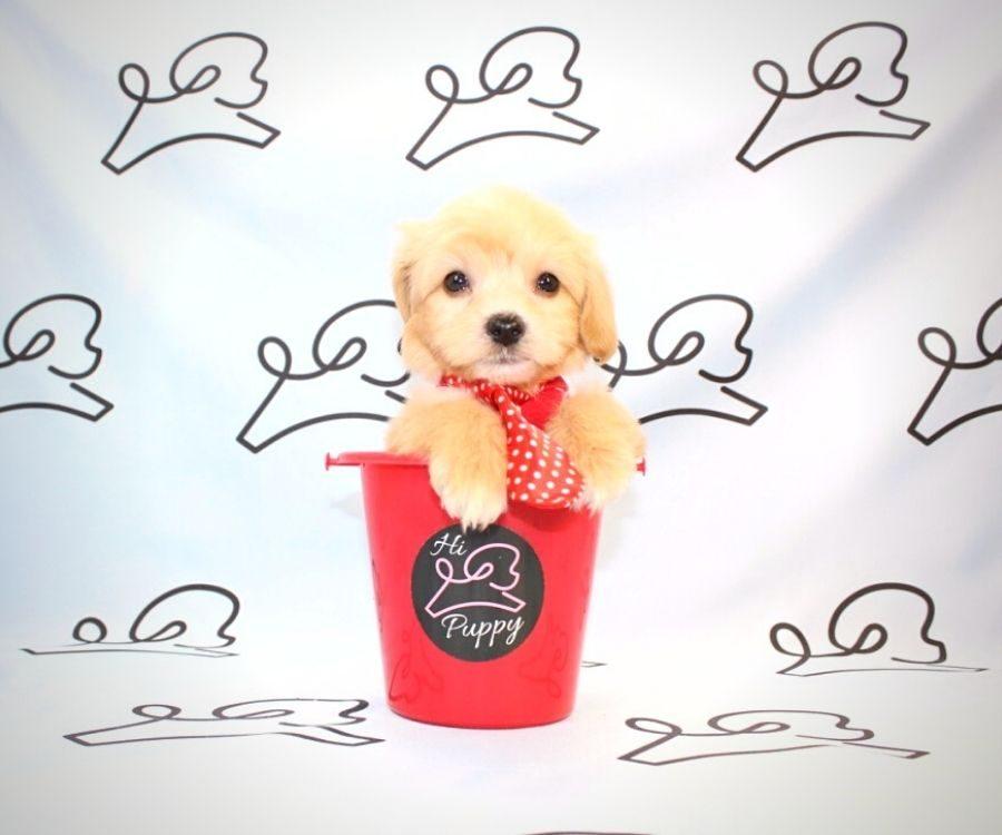 Gizmo - toy maltipoo puppy in Las Vegas:Los Angeles.2
