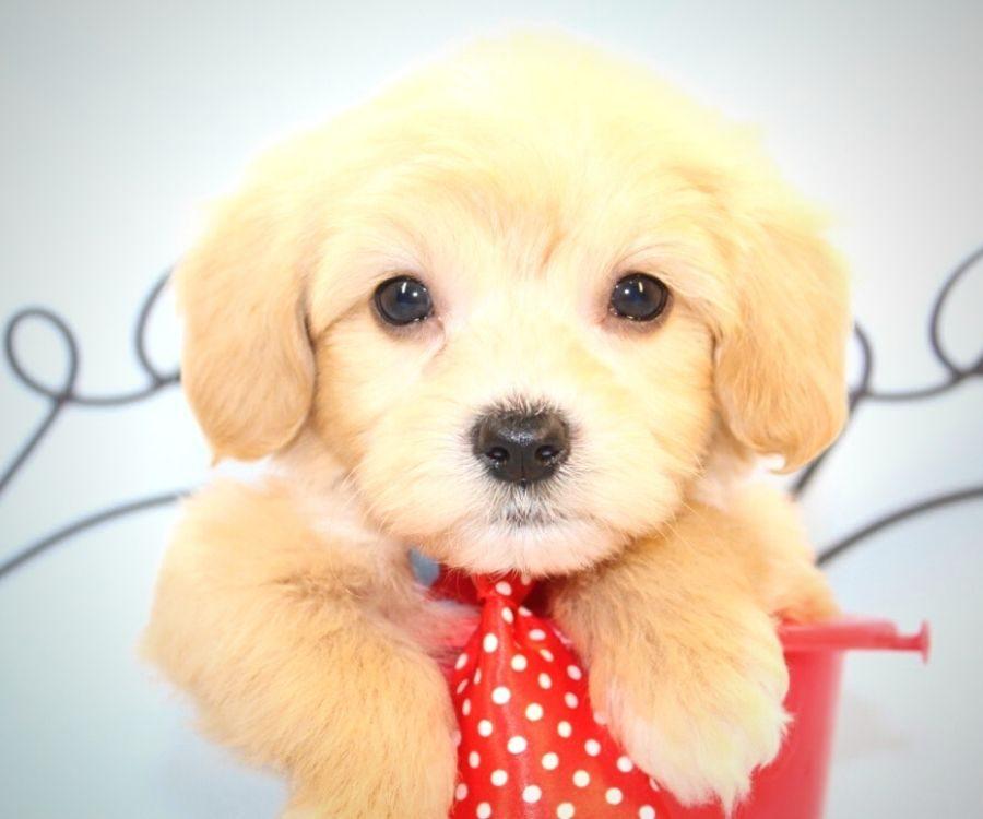Gizmo - toy maltipoo puppy in Las Vegas:Los Angeles.3