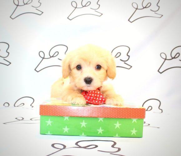 Gizmo - toy maltipoo puppy in Las Vegas:Los Angeles.4