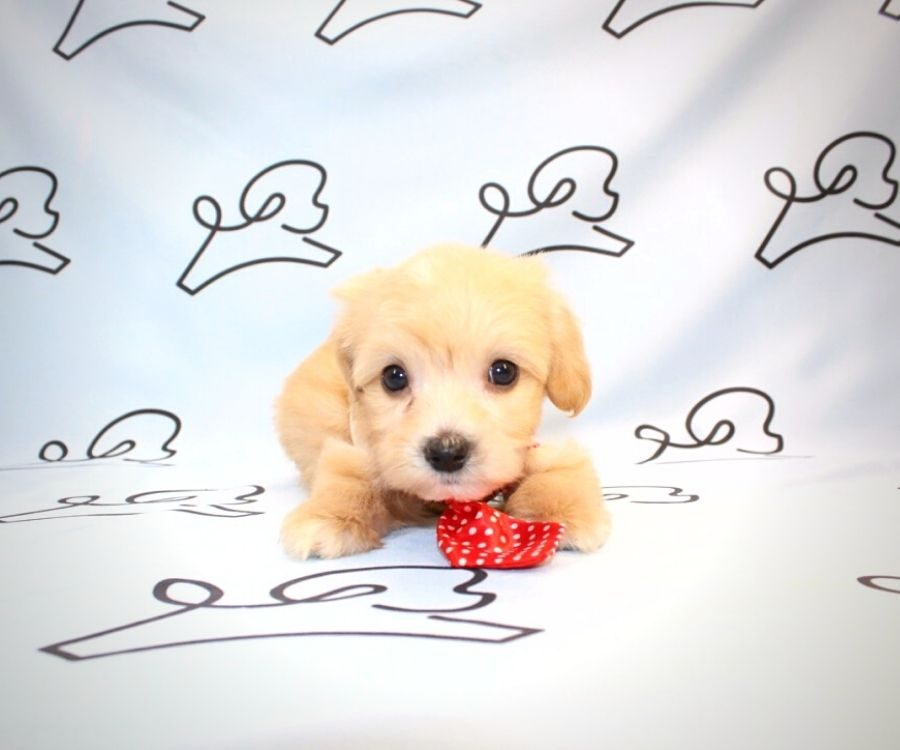 Gizmo - toy maltipoo puppy in Las Vegas:Los Angeles.5