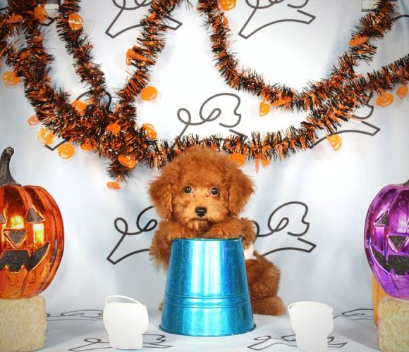 Gliss - toy poodle puppy in Las Vegas:Los Angeles.0