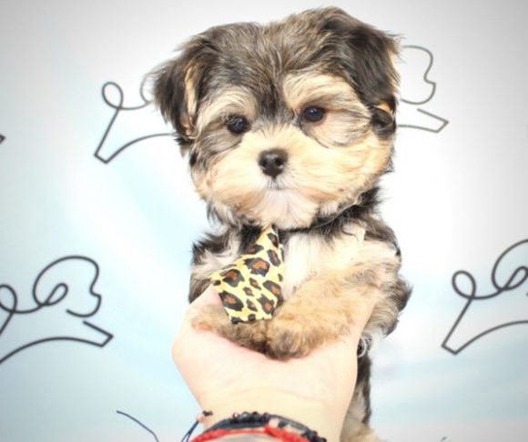 Gregory Peck - Teacup Yorkie Puppy For Sale By Breeder.1