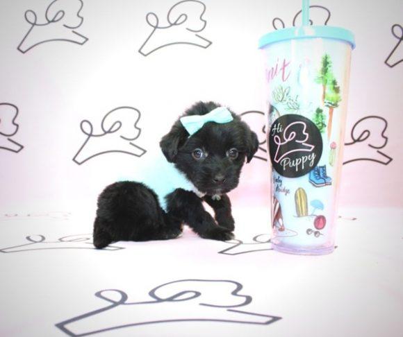 Halle Berry - Teacup Maltipoo Puppy In Las Vegas.3