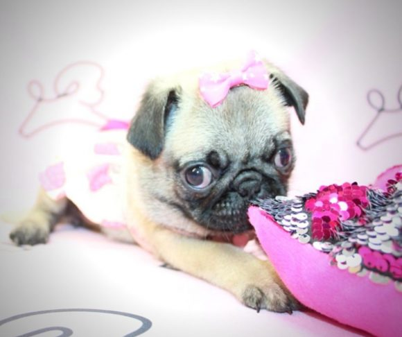 Hannah - Pug pictures in Los Angeles.3