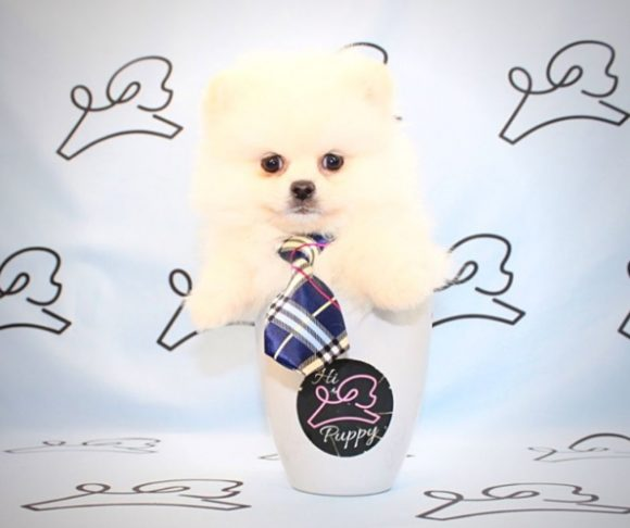 Happy Feet - Teacup Pomeranian near Los Angeles.2