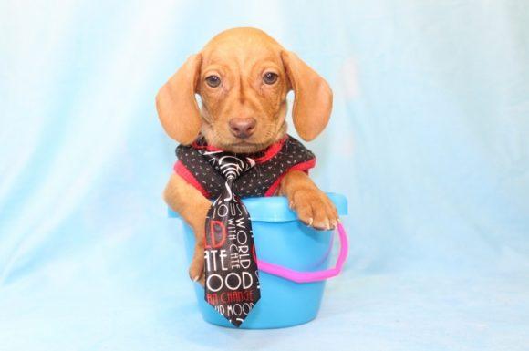 Happy Gilmore - Teacup Dachshund Puppy6