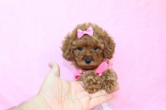 Hashtag - Teacup Pomeranian Puppy9