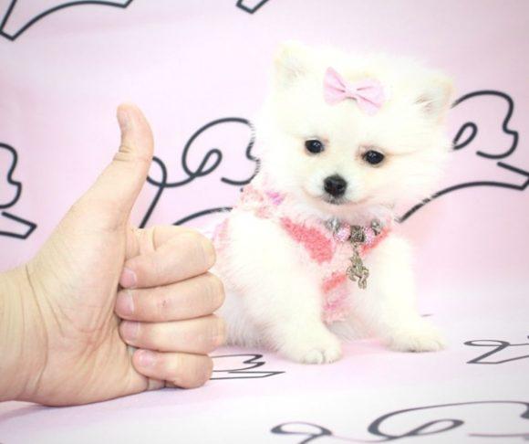 Healer - Toy Pomeranian Puppy For Sale.2