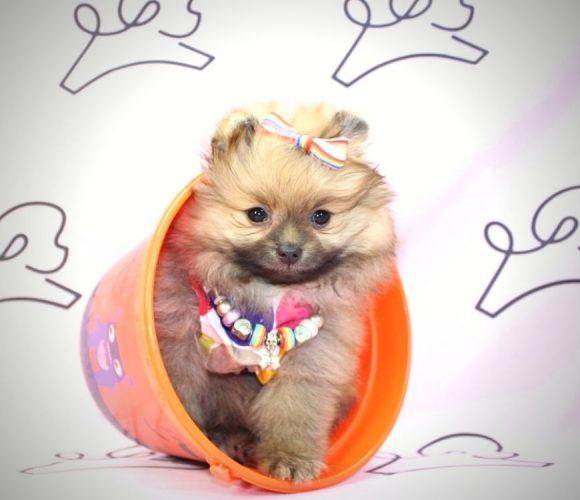 Hocus - teacup pomeranian puppy in Las vegas:Los Angeles.4