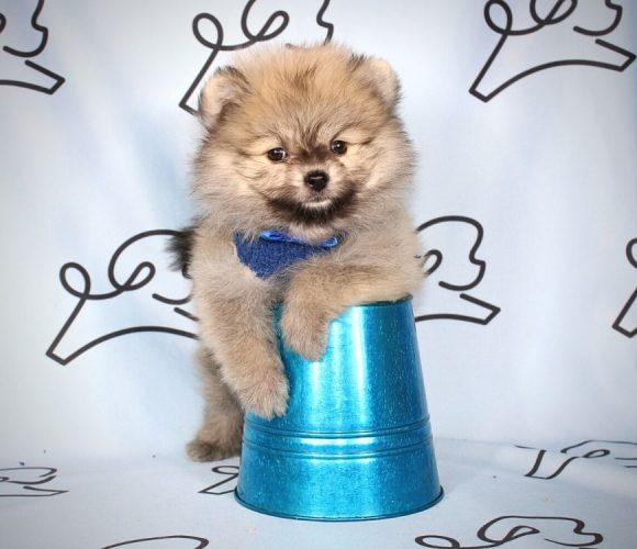 Hugo - toy pomeranian puppy in Las Vegas:Los Angeles.0