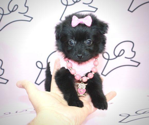 India - Toy Pomapoo Puppy By Breeder.4