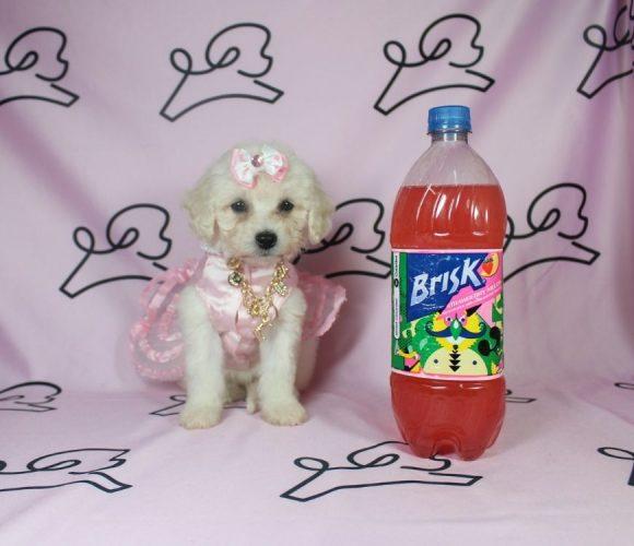 Isabel - toy maltipoo puppy in Las Vegas:Los Angeles.2