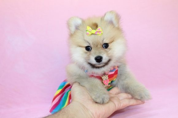 Ivanka - Toy Pomeranian Puppy8