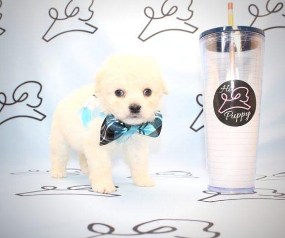 James Dean - Toy Maltipoo Puppy By Breeder.0
