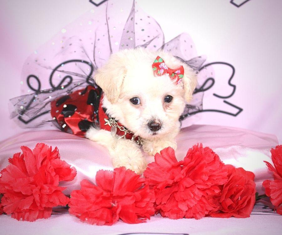 Jane - toy maltipoo puppy in Las Vegas:Los Angeles.0