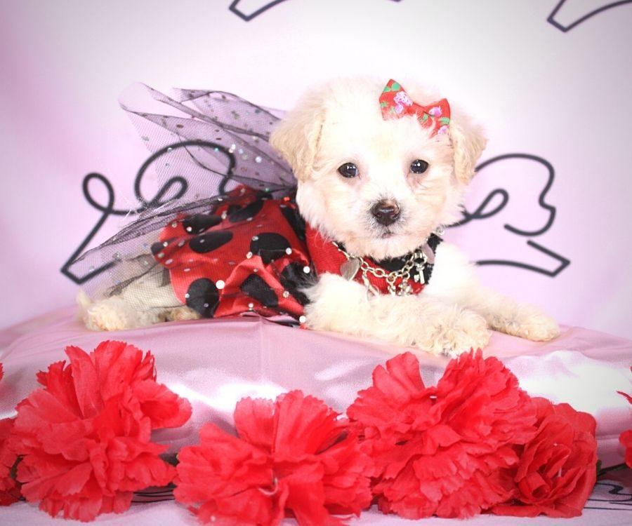 Jane - toy maltipoo puppy in Las Vegas:Los Angeles.1