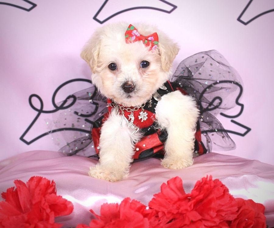 Jane - toy maltipoo puppy in Las Vegas:Los Angeles.2