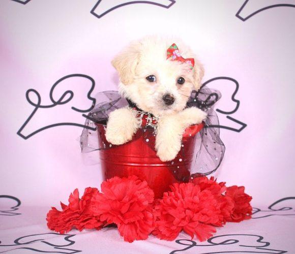 Jane - toy maltipoo puppy in Las Vegas:Los Angeles.3