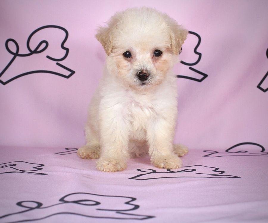 Jane - toy maltipoo puppy in Las Vegas:Los Angeles.4