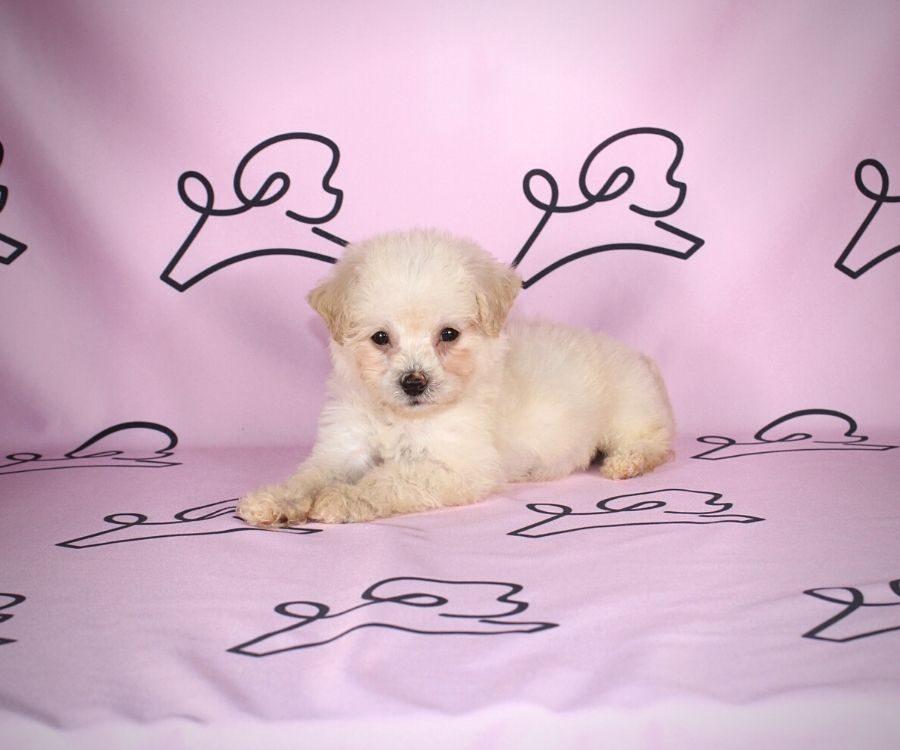 Jane - toy maltipoo puppy in Las Vegas:Los Angeles.5