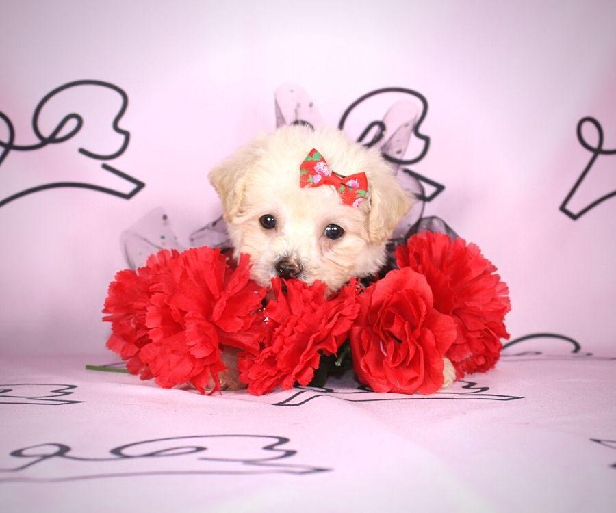 Jane - toy maltipoo puppy in Las Vegas:Los Angeles.6