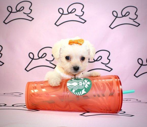 Jasmin - teacup maltipoo puppy in Las Vegas:Los Angeles.4