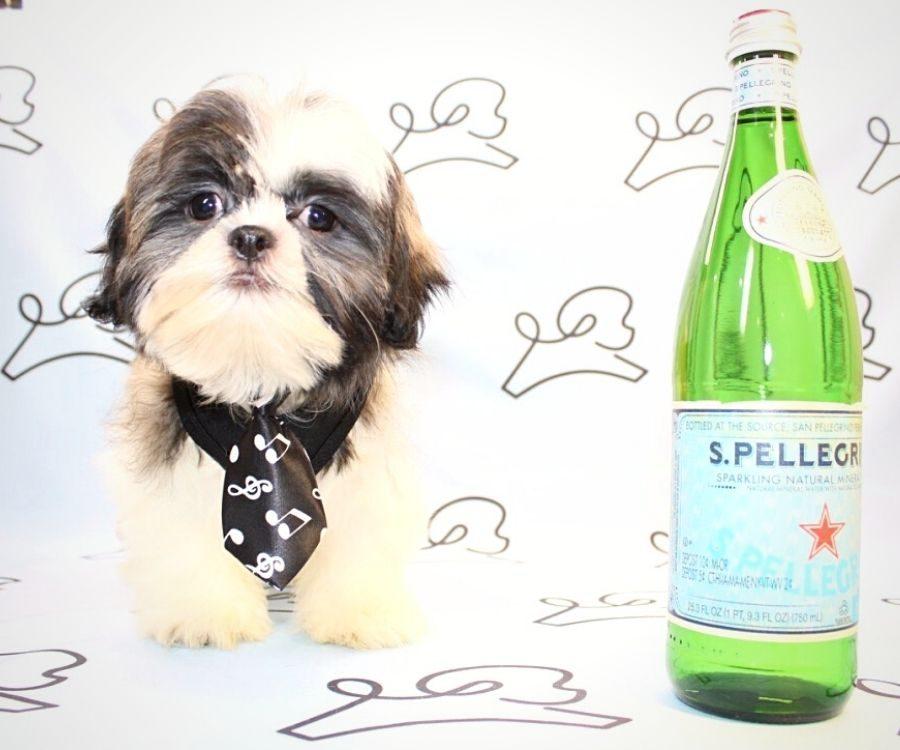 Jasper - toy Shih Tzu puppy in Las Vegas:Los Angeles.0