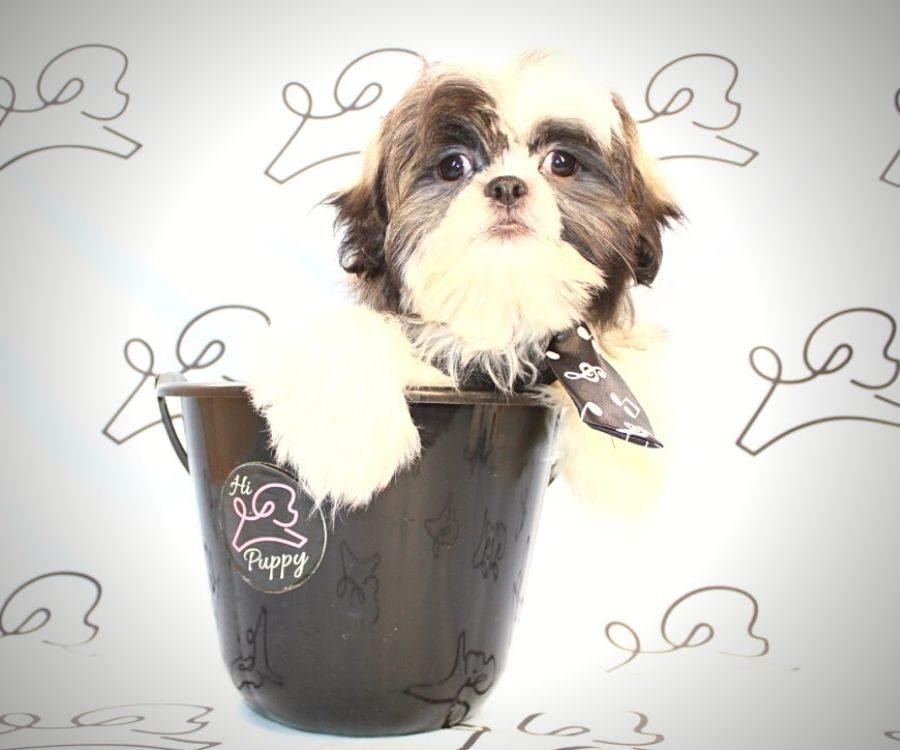 Jasper - toy Shih Tzu puppy in Las Vegas:Los Angeles.3