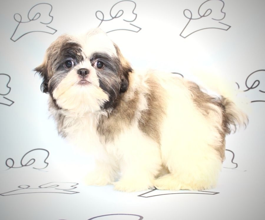 Jasper - toy Shih Tzu puppy in Las Vegas:Los Angeles.4