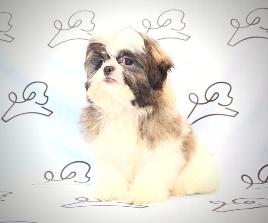 Jasper - toy Shih Tzu puppy in Las Vegas:Los Angeles.5