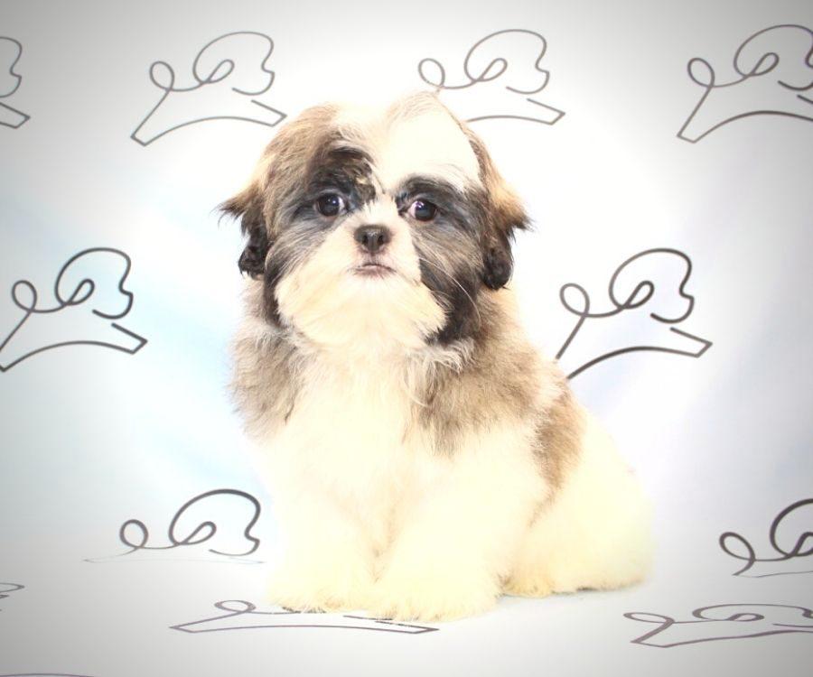 Jasper - toy Shih Tzu puppy in Las Vegas:Los Angeles.6