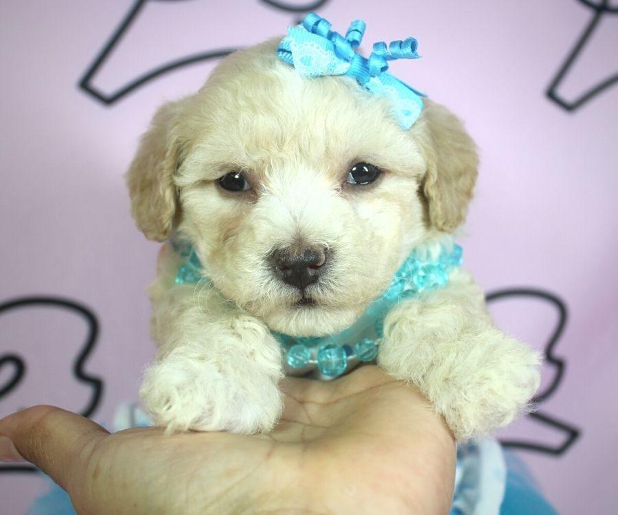 Jenavive - toy poodle puppy in Las Vegas:Los Angeles.1